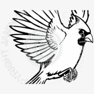 Bluejay drawing transparent png. Cardinal clipart in flight