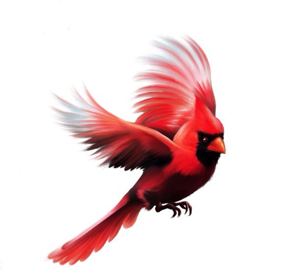 Charlie pinterest tattoo cardinals. Cardinal clipart in flight