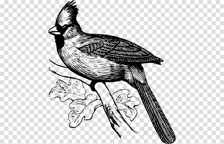 Cardinal clipart line drawing. Bird art transparent