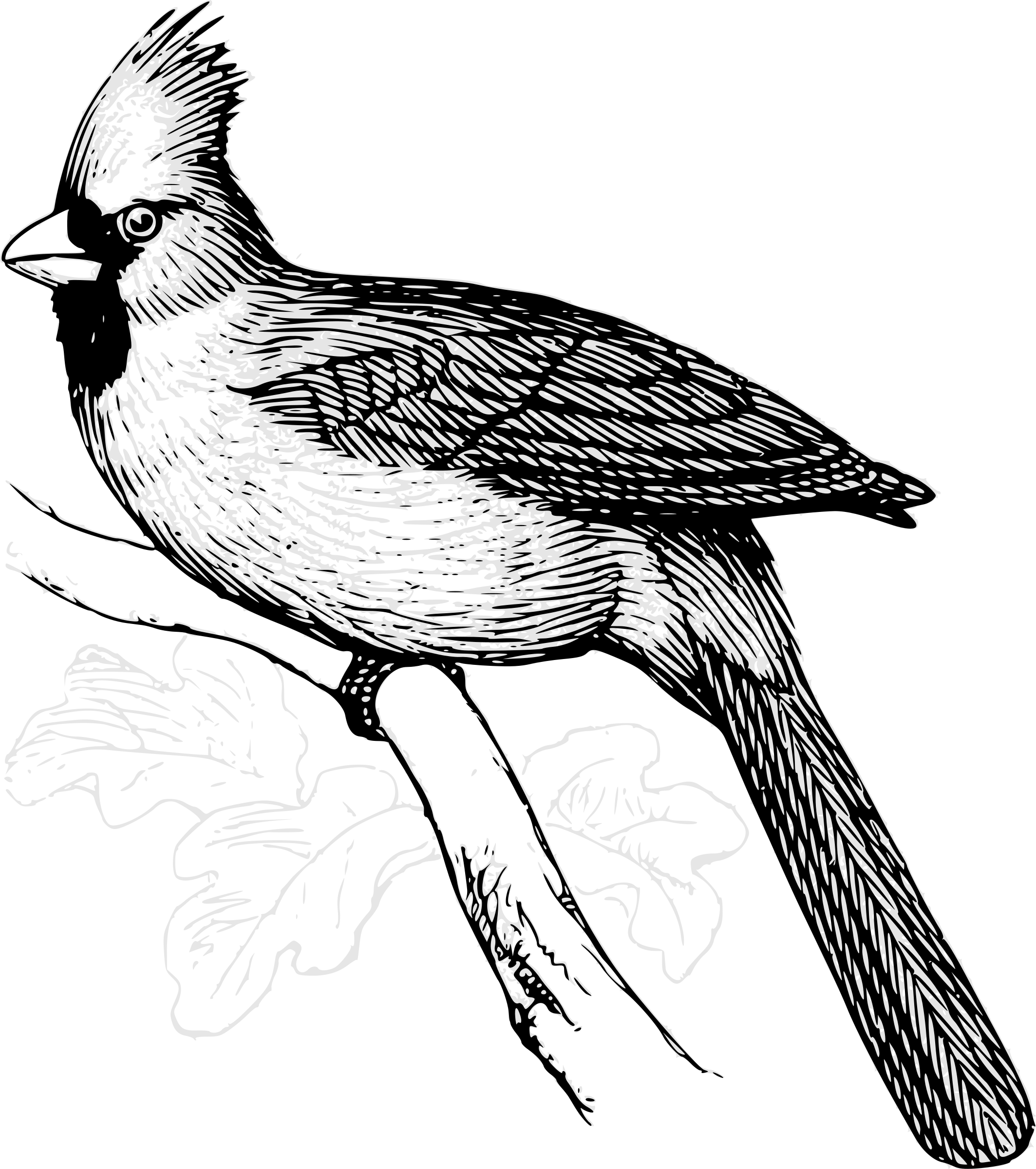 Bird art. Cardinal clipart line drawing
