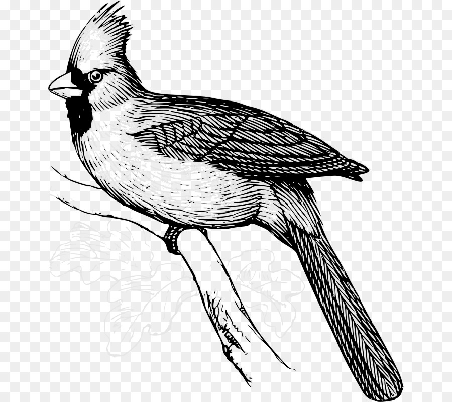 Cardinal clipart line drawing. Bird png download free