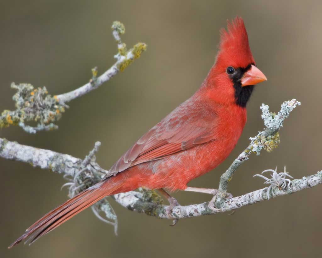 Northern audubon field guide. Cardinal clipart male