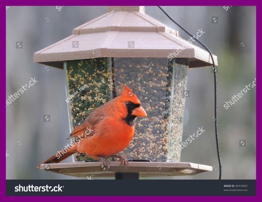 Unbelievable red northern bird. Cardinal clipart male