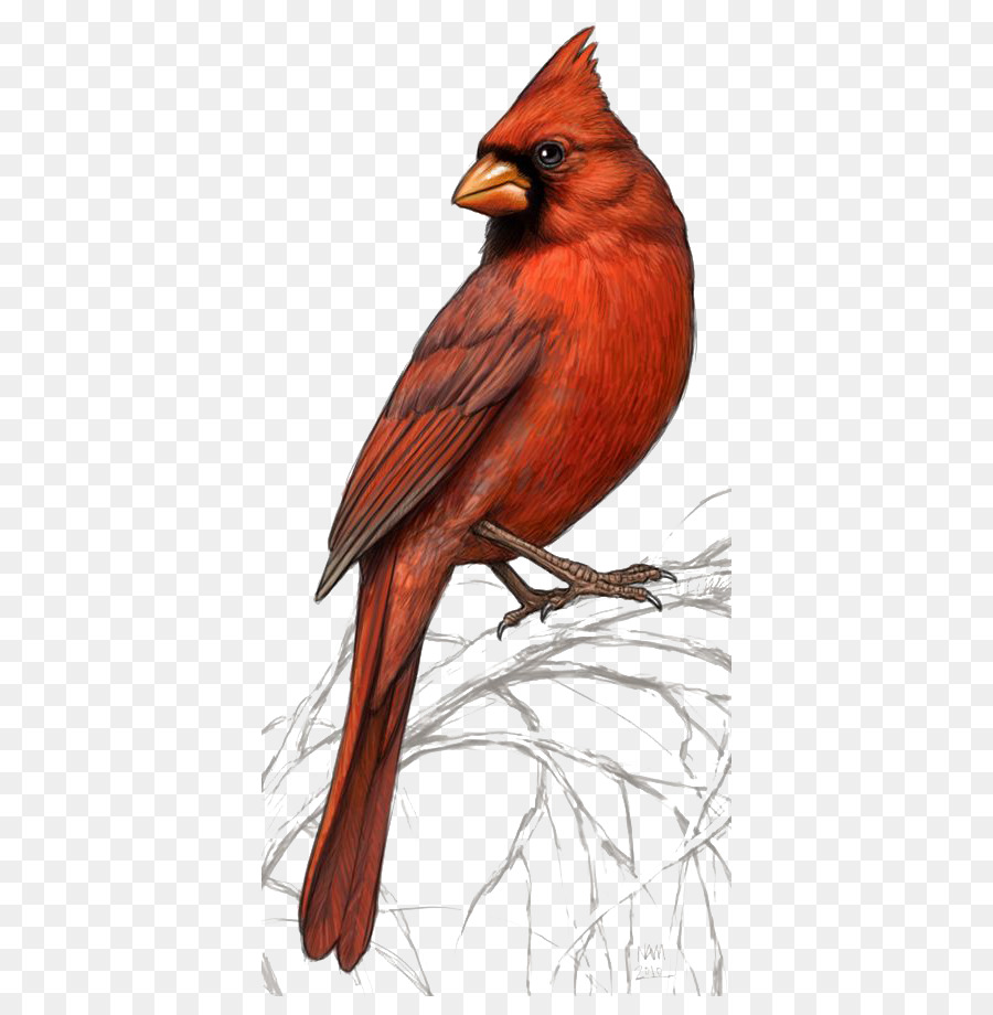Cardinal clipart northern cardinal. Bird st louis cardinals