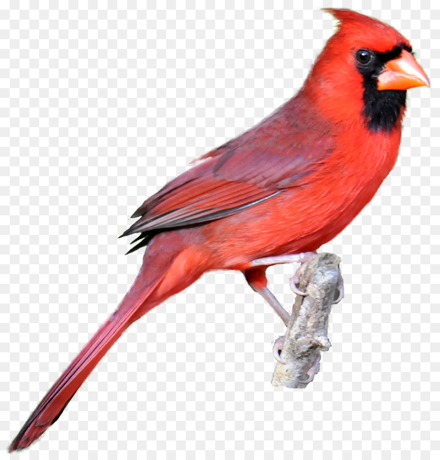 Cardinal clipart northern cardinal. Bird drawing clip art