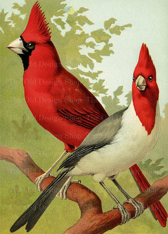 Cardinal clipart printable. Red gray vintage bird