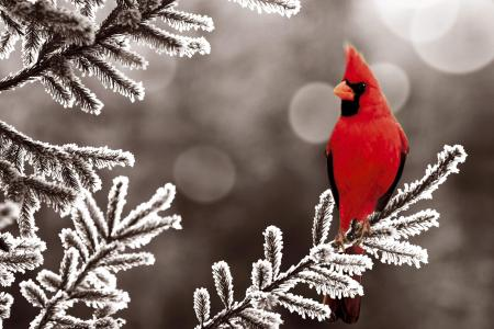 Cardinal clipart snow clipart. In hd wallpaper background