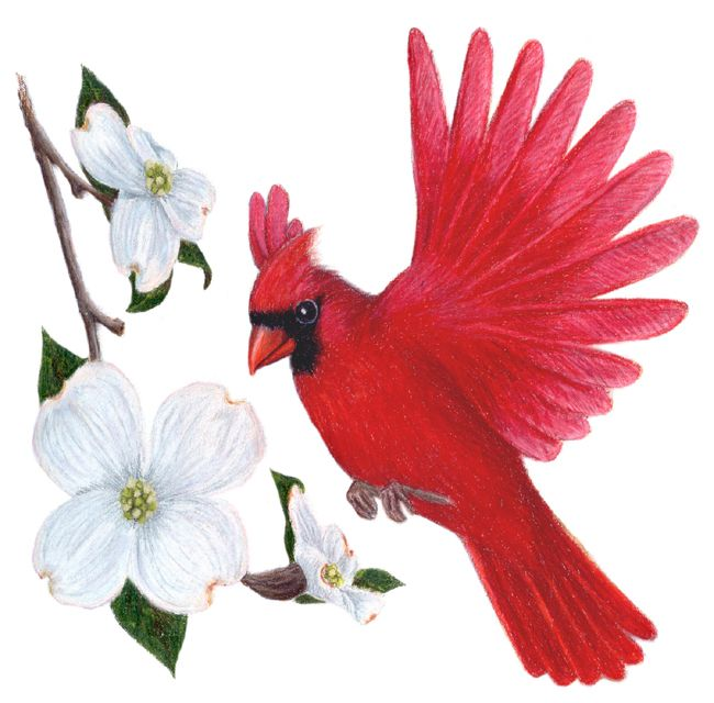 Cardinal clipart south. North carolina state flower