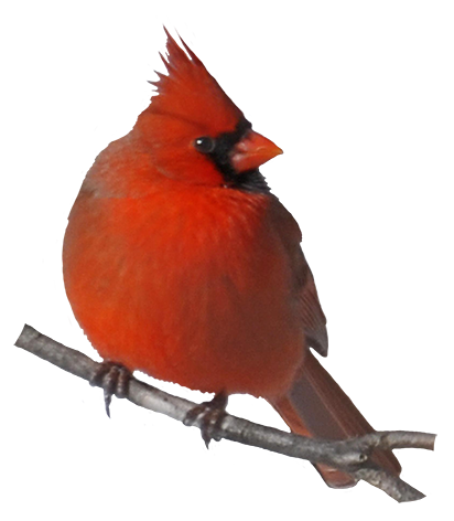 collection of png. Cardinal clipart transparent background