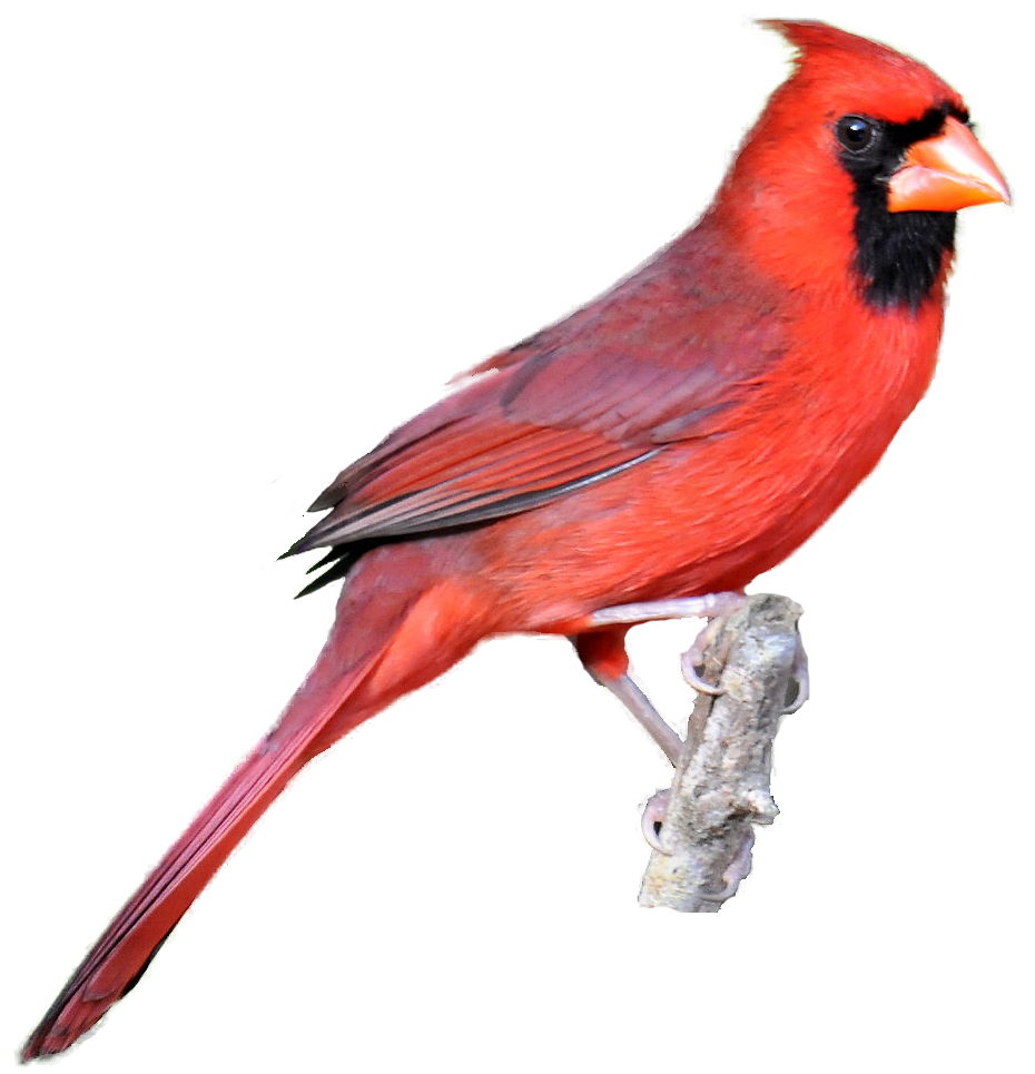 Bird silhouette at getdrawings. Cardinal clipart transparent background