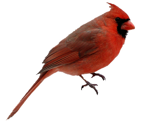 Png free images . Cardinal clipart transparent background
