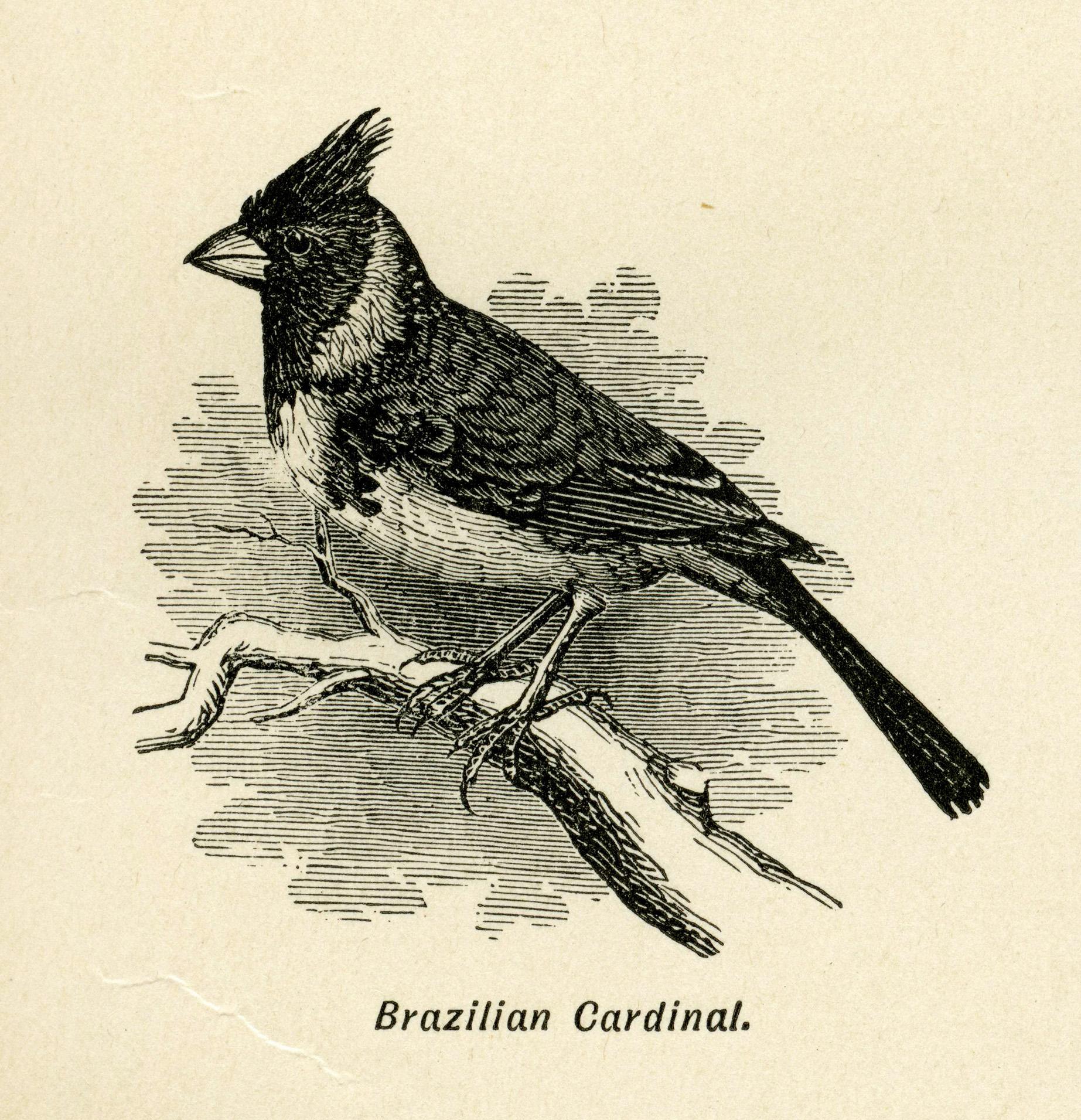 Brazilian bird free clip. Cardinal clipart vintage