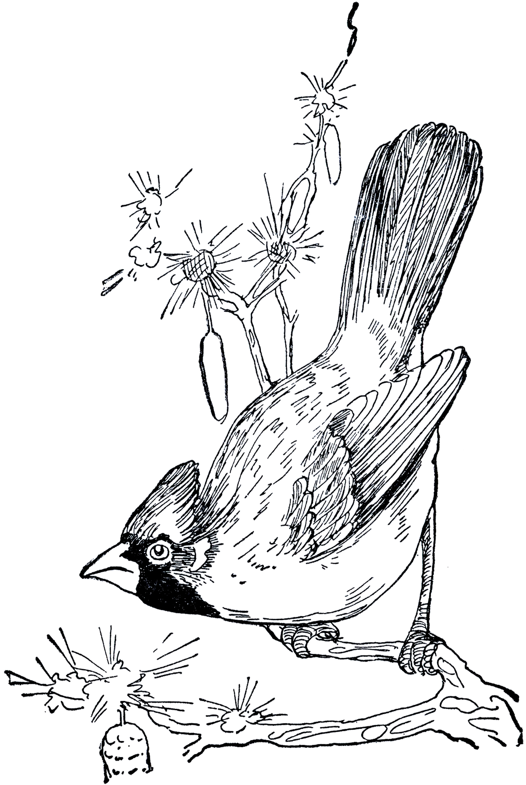 Cardinal clipart vintage. Drawing the graphics fairy