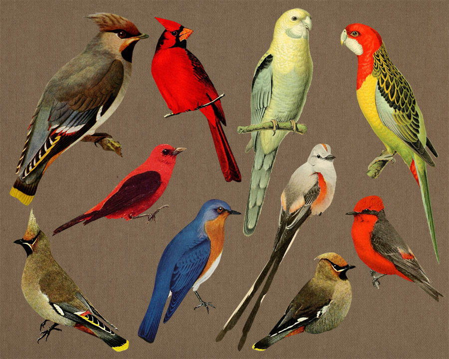 Cardinal clipart vintage.  birds antique bird