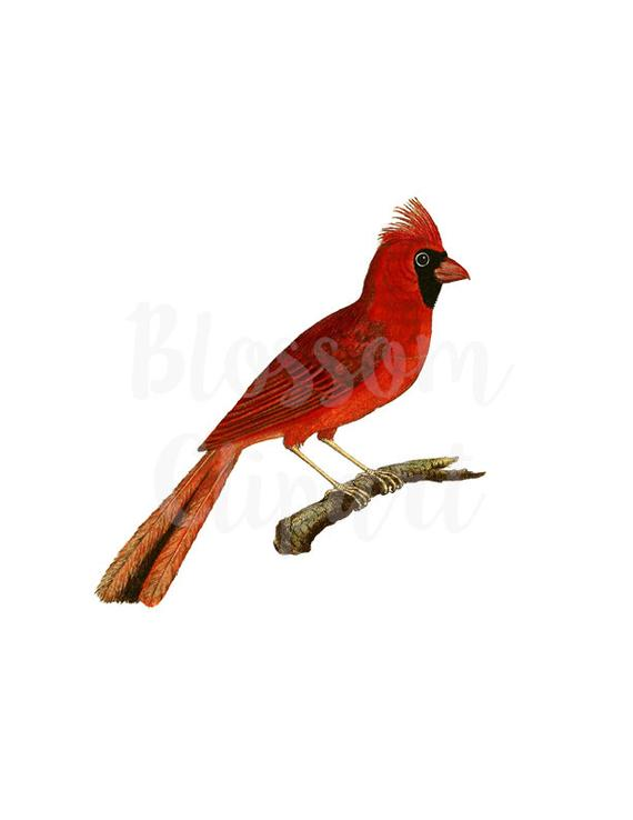 Bird graphic illustration for. Cardinal clipart vintage