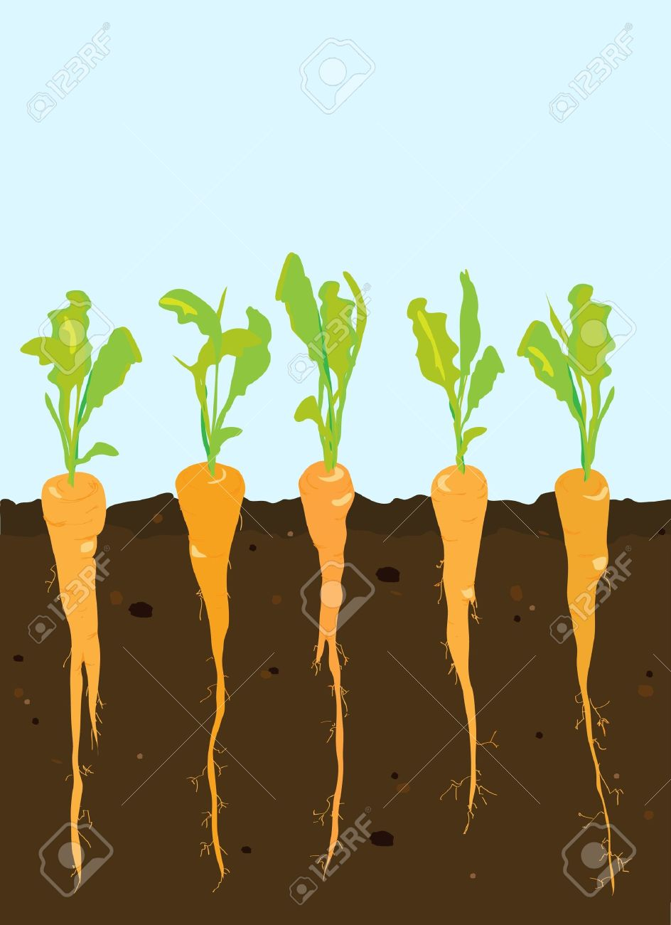 Carrot clipart carrot plant. Diagram download