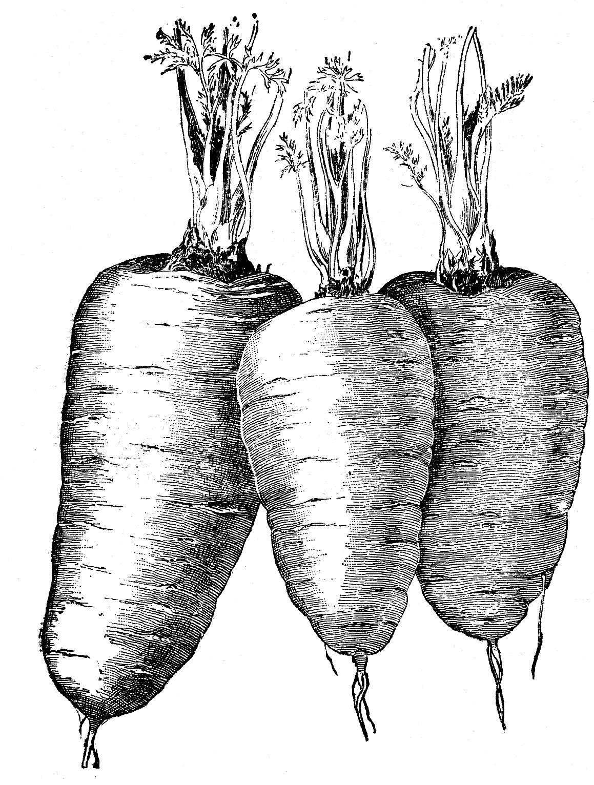 Clipart vegetables vintage. Vegetable clip art carrots