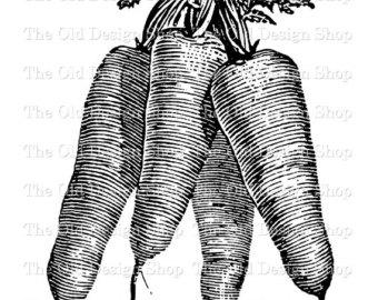 Carrot clipart vintage. Botanical illustration printable garden