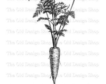 Carrot clipart vintage. Carrots illustration etsy botanical