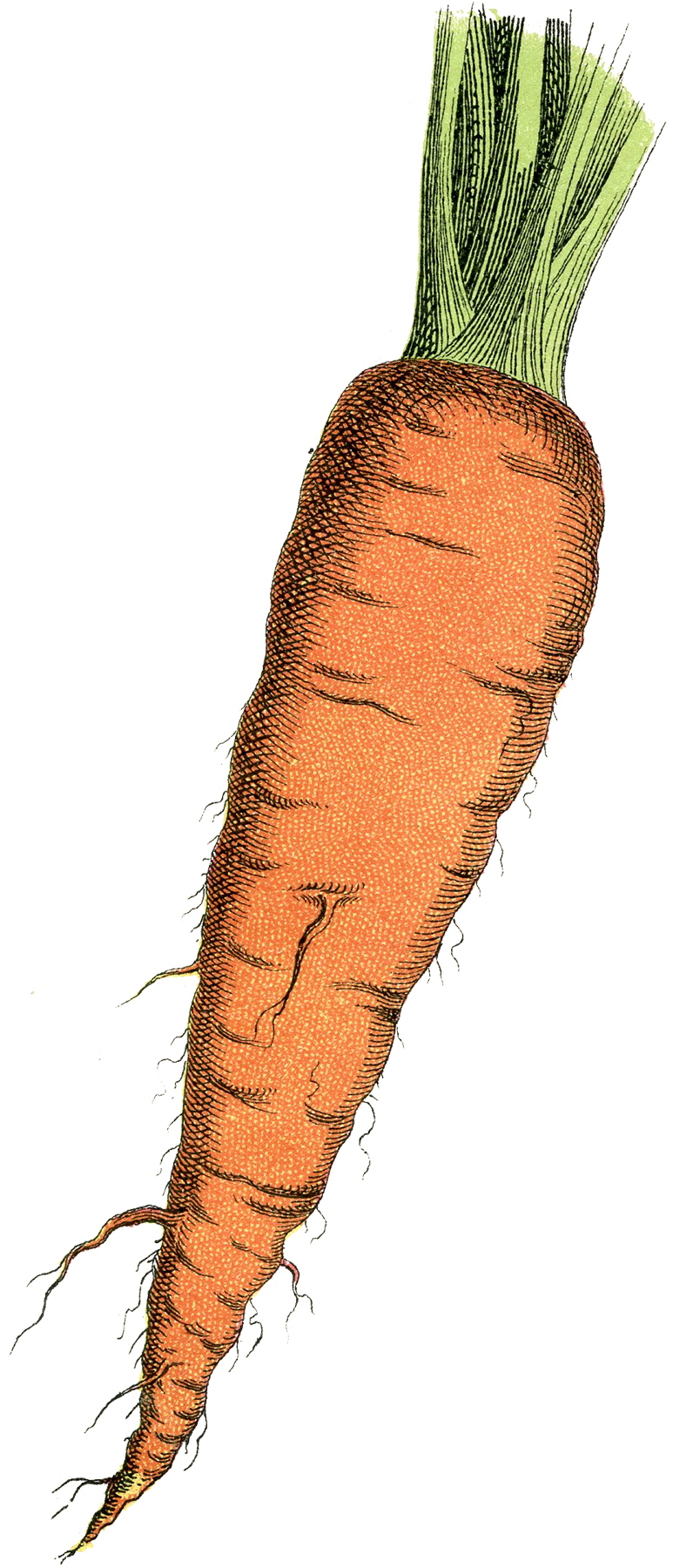 Carrot clipart vintage. Free image the graphics
