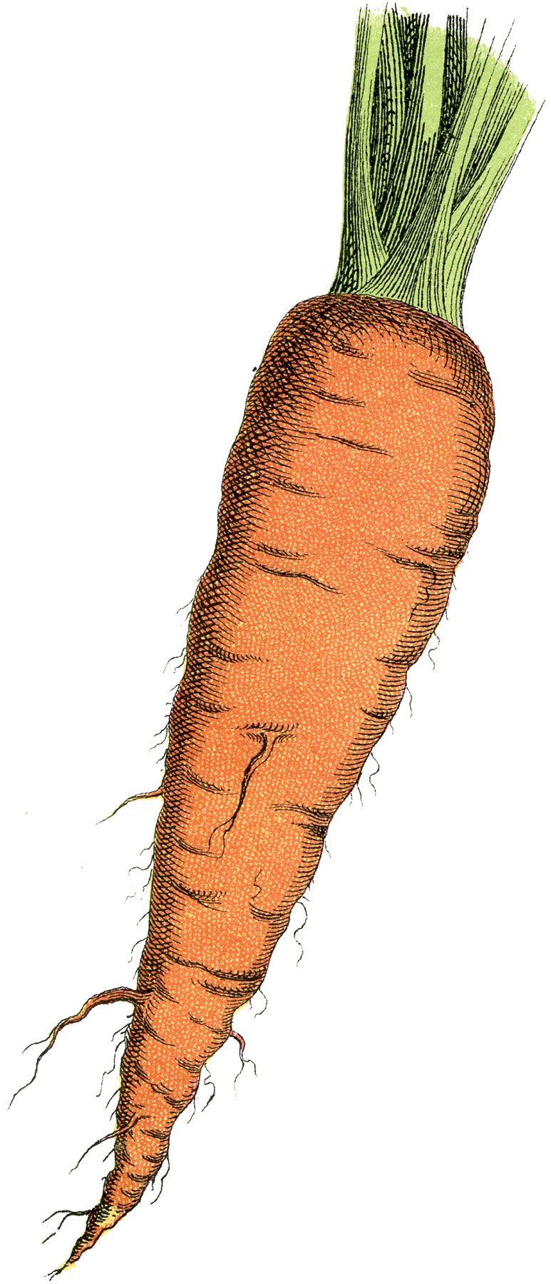 Carrot clipart spring. Free image carrots ephemera
