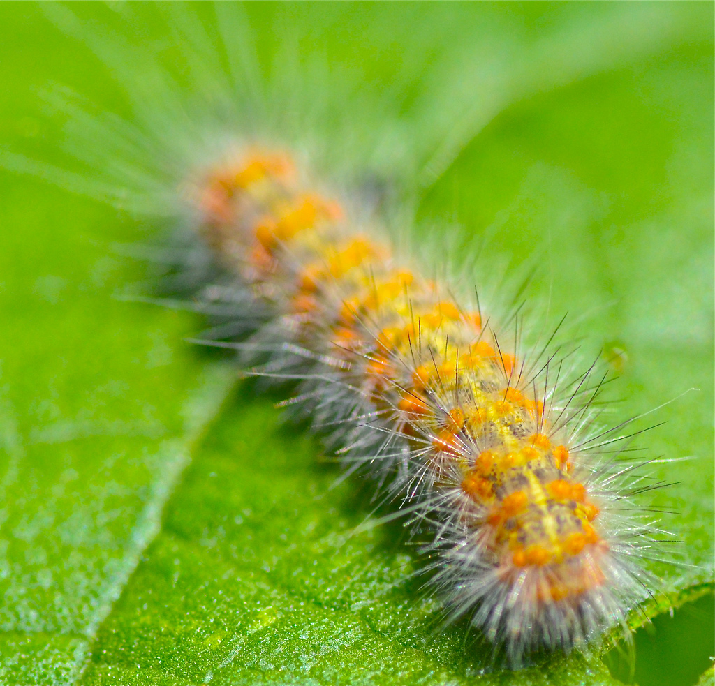 Caterpillar clipart fuzzy. Not real knowledgeable on
