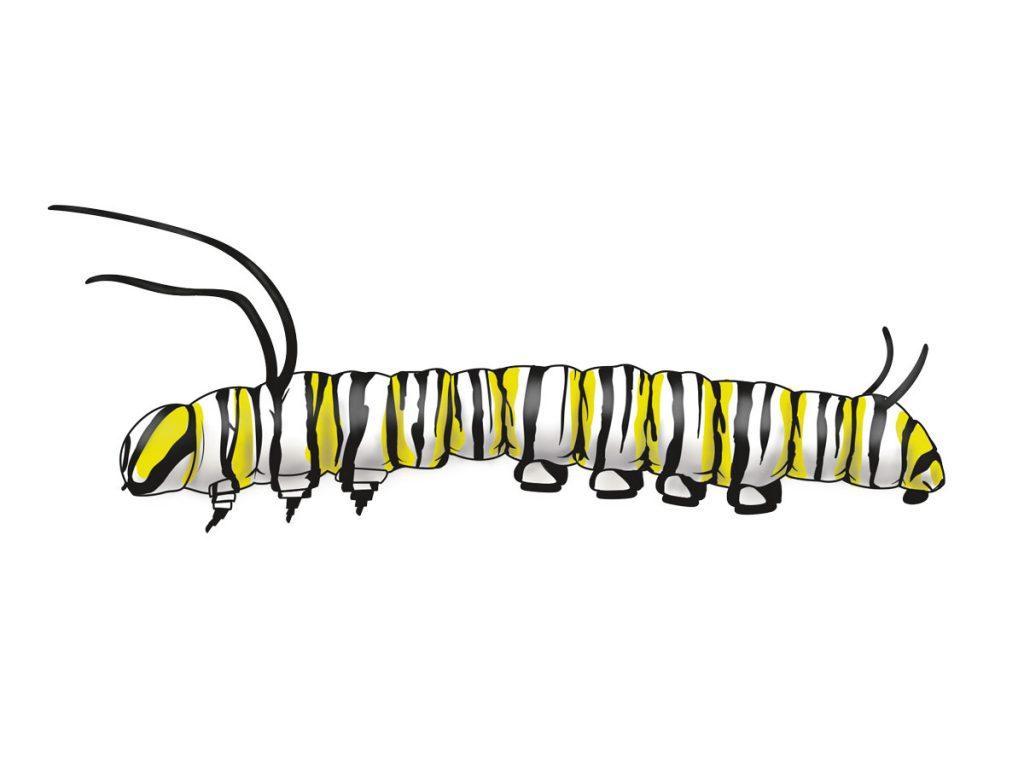 Caterpillar clipart monarch. Vs queen lady bird