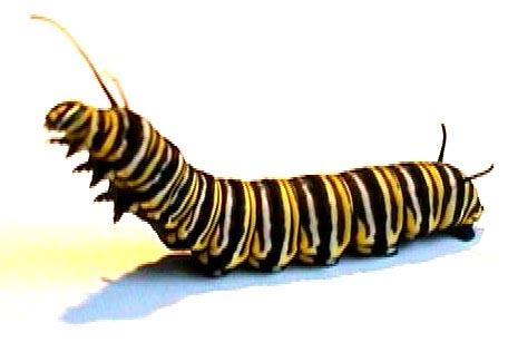 Drawing at getdrawings com. Caterpillar clipart monarch
