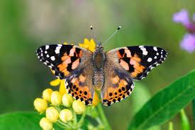 Caterpillar clipart painted lady. What s that fluttering