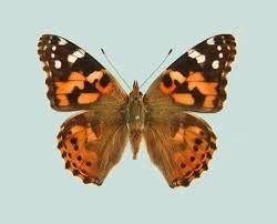 Caterpillar clipart painted lady.  best z butterflies