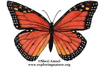Caterpillar clipart painted lady. Classification insects orders illustrated