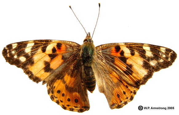 Movieweb. Caterpillar clipart painted lady