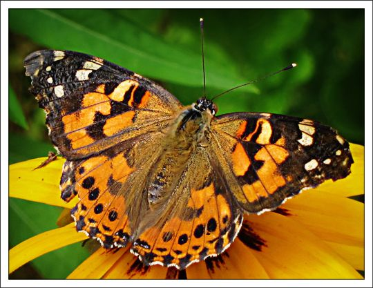 Caterpillar clipart painted lady. Butterflies of the adirondack