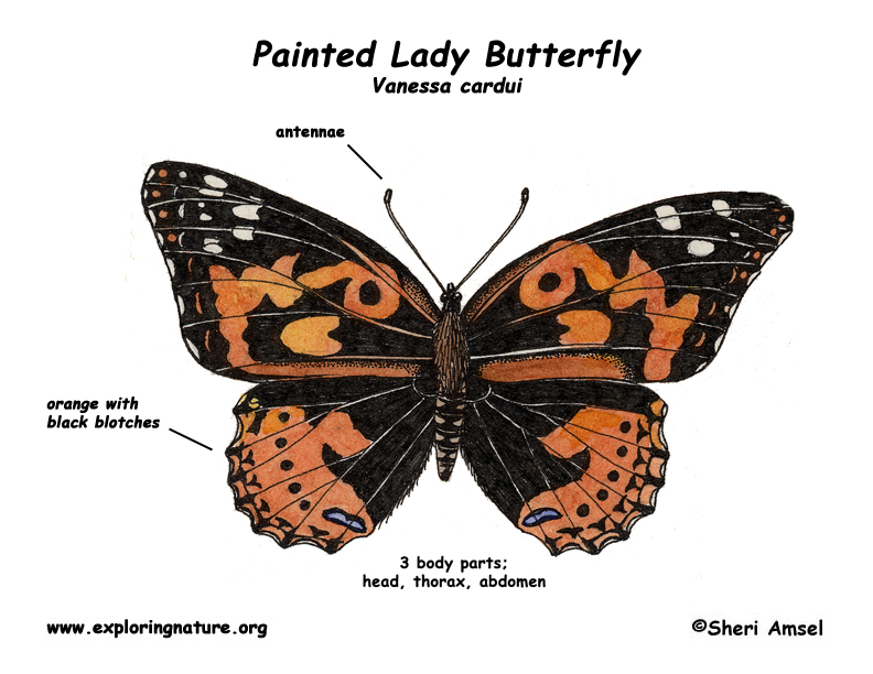 Caterpillar clipart painted lady. Anatomy of a butterfly