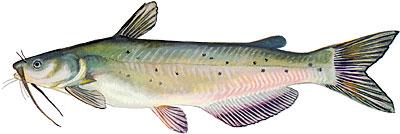 Fishin franks freshwater fish. Catfish clipart blue catfish