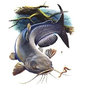 Free cliparts download clip. Catfish clipart channel catfish