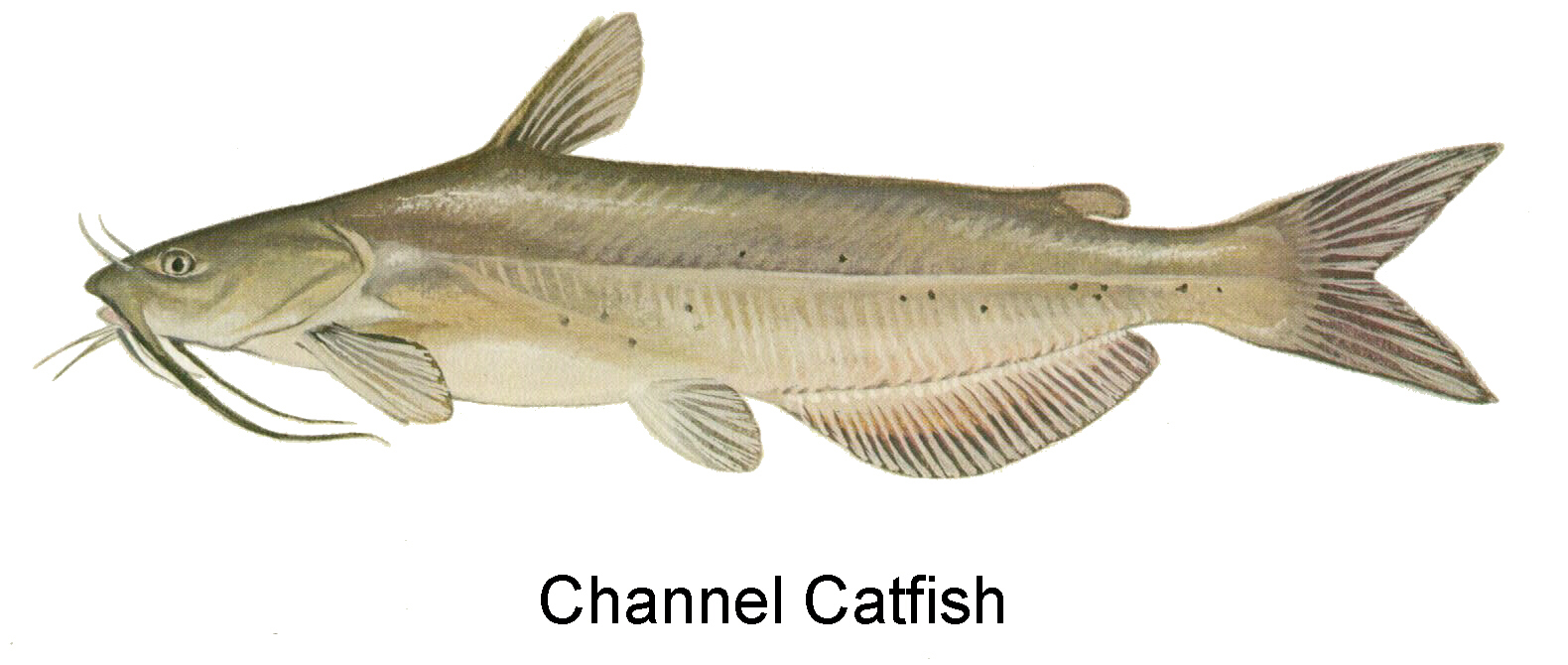 Indiana outside clip art. Catfish clipart channel catfish