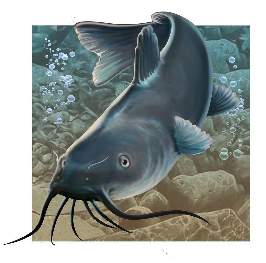 Canvas print art by. Catfish clipart channel nebraska