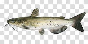 Aquaculture of transparent background. Catfish clipart game fish