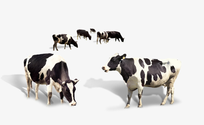Cattle clipart cattle herd. Dairy cow of cows