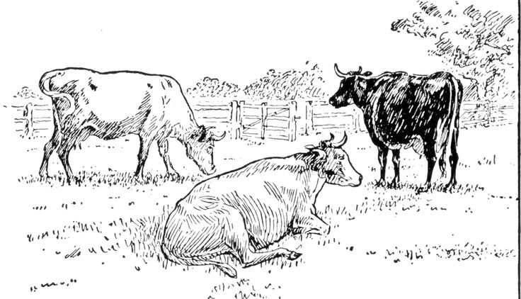 Cattle clipart cow drawing.  best cows images