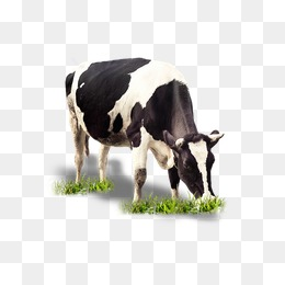 Cattle Clipart Cow Grazing Cattle Cow Grazing Transparent