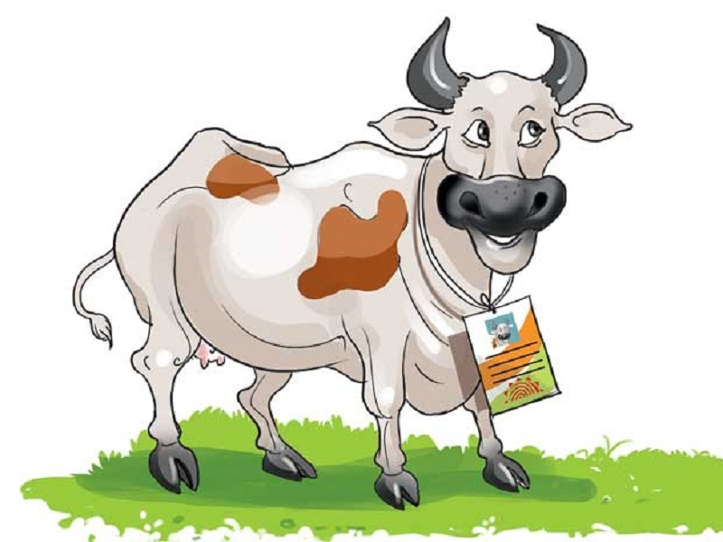 Cattle clipart cow indian. Not only humans cows