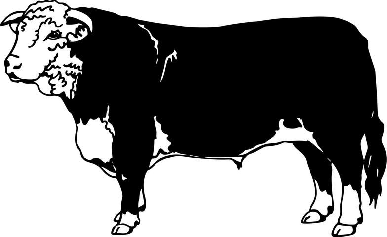 Cattle hereford cow