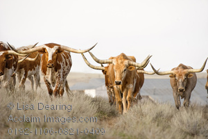 Cattle clipart longhorn cattle. Acclaim images photos stock