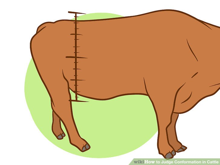 How to judge conformation. Cattle clipart male cow