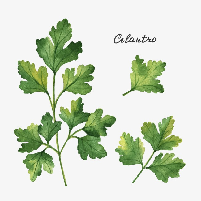 Celery clipart watercolor. Drawing leaves plant png