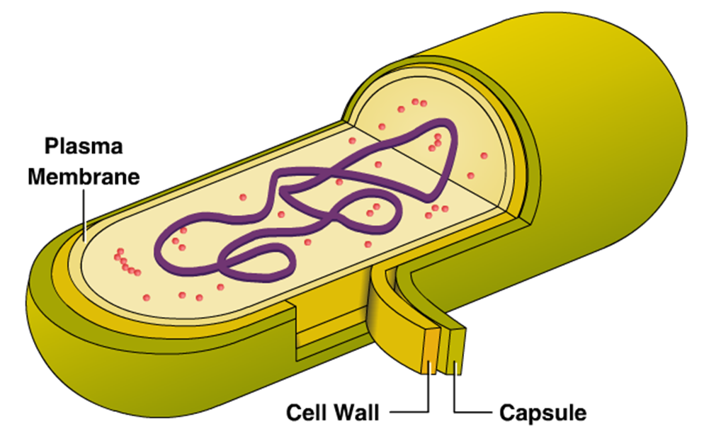 Cell clipart bacterial cell. External structure of bacteria