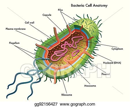 Vector illustration bacteria anatomy. Cell clipart bacterial cell