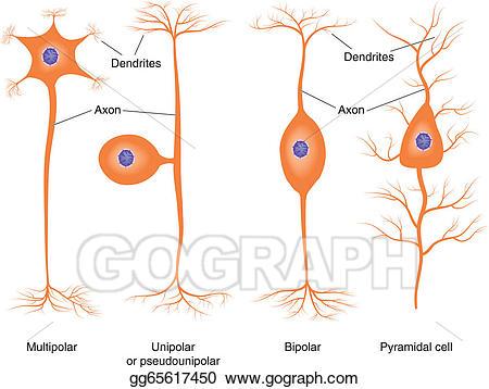 Eps vector neuron types. Cell clipart basic